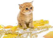 Little British kitten and autumn leaves Stock Images