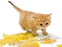 Little British kitten and autumn leaves Royalty Free Stock Photo