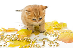Little British kitten and autumn leaves Royalty Free Stock Photography