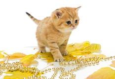Little British kitten and autumn leaves Stock Photo