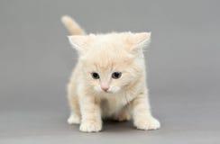Little British kitten beige color Royalty Free Stock Photo