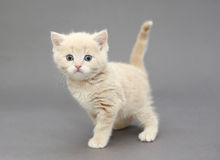 Little British kitten beige color Royalty Free Stock Photos