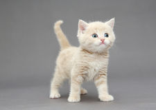 Little British kitten beige color Stock Photography