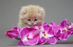 Little British kitten Stock Image
