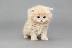 Little British kitten Royalty Free Stock Photos