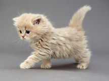 Little British kitten Royalty Free Stock Photography