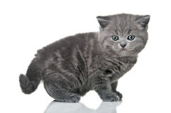 Little british kitten cat Stock Image