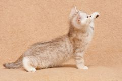 Little British kitten chocolate silver tiger color side view stock photo