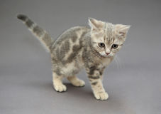 Little British kitten marble color with big eyes Stock Photo