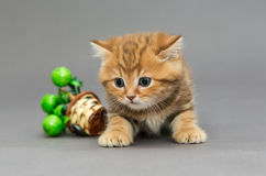Little British kitten marble colors Royalty Free Stock Images
