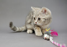 Little British kitten marble colors  and toy Stock Image