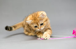 Little British kitten marble colors  and toy Royalty Free Stock Photos
