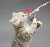 Little British kitten marble colors  and toy Stock Photos