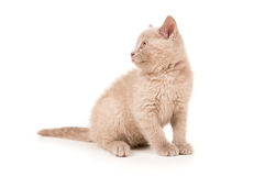Little british kitten sitting smoke gray Stock Photo