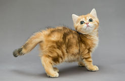 Little British red kitten with big eyes Stock Photos