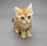 Little British red kitten with big eyes Stock Images