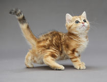 Little British red kitten with big eyes Stock Photo