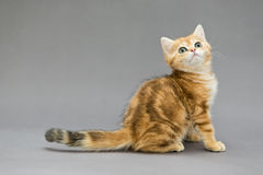 Little British red kitten with big eyes Royalty Free Stock Image