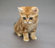 Little British red kitten with big eyes Royalty Free Stock Photography