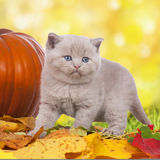 Little british shorthair cat standing on leaves Stock Images