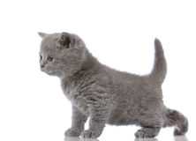 Little british shorthair kitten Stock Images