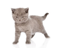 Little british shorthair kitten looking at camera.  on w Royalty Free Stock Images