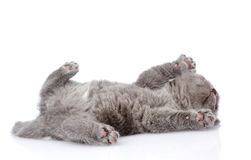 Little british shorthair kitten lying on the back. isolated on w Stock Images