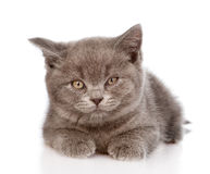 Little british shorthair kitten lying in front. isolated on whit Stock Photos
