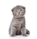 Little british shorthair kitten sitting in front. isolated Royalty Free Stock Image