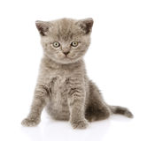 Little british shorthair kitten sitting in front. isolated Stock Photography
