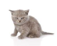 Little british shorthair kitten sitting. isolated on white Stock Images