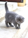 Little british shorthair kitten walking royalty free stock photo