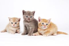 Little british shorthair kittens Royalty Free Stock Image