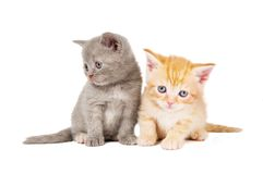Little british shorthair kittens Royalty Free Stock Photos