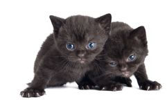 Little british shorthair kittens Royalty Free Stock Photo