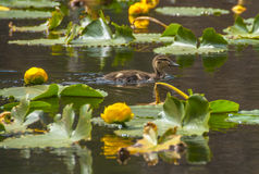 Little brown baby duck swim around water lilly in Cub Lake Rocky Royalty Free Stock Photography
