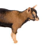Little brown baby goat Stock Photography