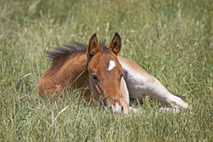 Little Brown Baby Horse Sleeping In Grass Stock Photos