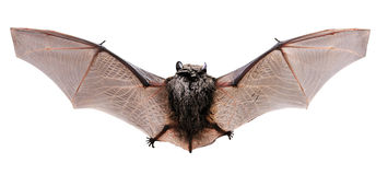 Little brown Bat. Back Stock Photos