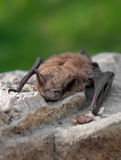Little Brown Bat (Myotis lucifugus) royalty free stock photography