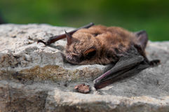 Little Brown Bat (Myotis lucifugus) Royalty Free Stock Photography
