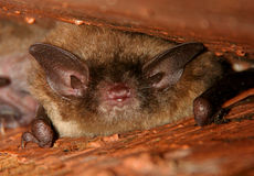 Little Brown Bat Sleeping Stock Images