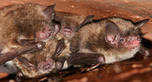 Little Brown Bats - Tight Spot Royalty Free Stock Image