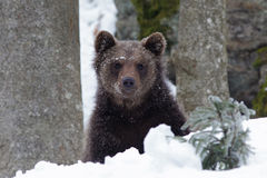 Little brown Bear. In the snow Stock Images