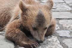 Little brown bear on the cobblestones of July 2016 Royalty Free Stock Image