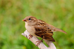 Little brown bird. Young sparrow perched on branch Stock Image