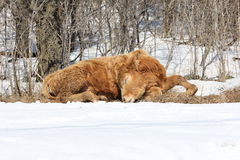 Little brown bull sleeping Royalty Free Stock Images