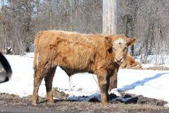 Little brown bull Stock Image