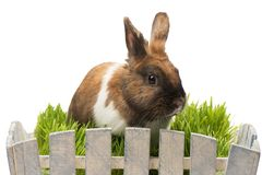 Little brown bunny is in white pot Royalty Free Stock Photo