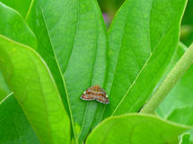 Little brown butterfly on the bright green leaf. Close-up Royalty Free Stock Photos